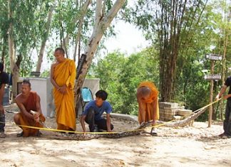 Monks and helpers try to stretch out the long serpent in order to measure it.