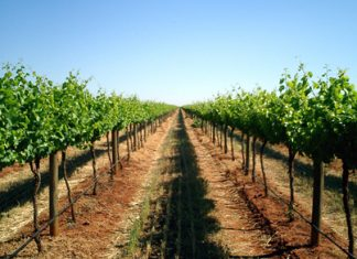 Brookford's vineyard: French varietals growing Australian style.