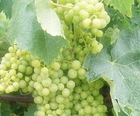 White Ugni Blanc grapes on the vine.
