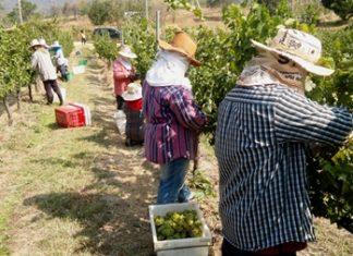 Harvesting at Khao Yai vineyard.