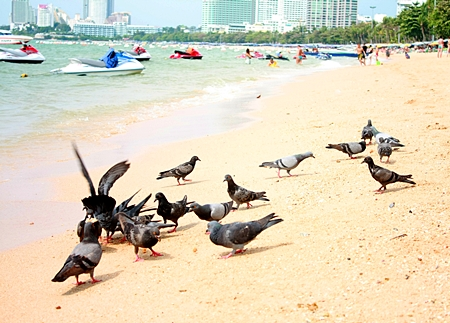 A rare sight just 2 years ago, pigeons are now overtaking Pattaya Beach.