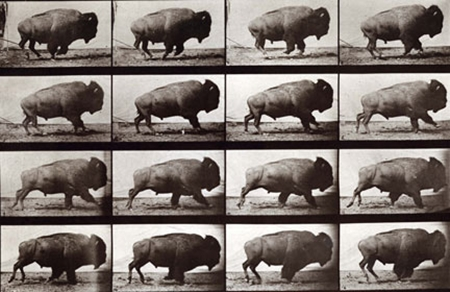 Muybridge's bison on the hoof.