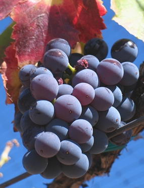 Grenache grapes. (Photo by Josh McFadden)