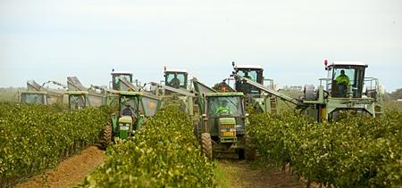 Machine harvesters pick grapes at Cedar Creek's Yenda vineyard.