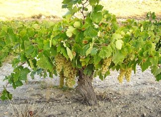 The Airén vine needs a lot of room (Photo: Bodegas Ambite)