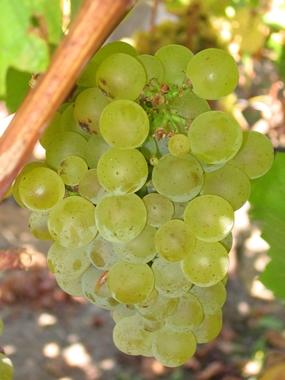 Sauvignon grapes on the vine