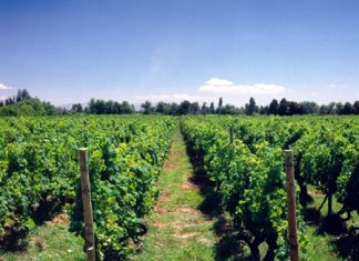 Part of the Purisima vineyard in Chile.
