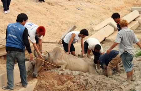 "Rescue workers help 6-year-old pregnant cow ""Ee Daeng"" out of a mud hole she went into for a cooling drink, but couldn't get out of."