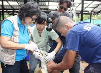 Dr. Nantarika Chansue and helpers try to rehydrate this 15-year-old female turtle to bring it back to health.