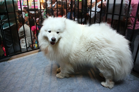 A beautiful Samoyed attracts a large number of visitors.