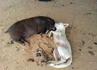 Dog and pig have become friends in Banglamung.