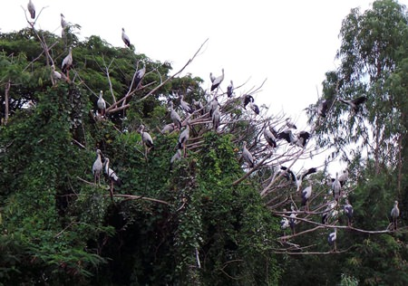 A flock of open-billed storks have been found roosting and searching for food along a stretch of the Rayong River.  This is being billed as a first for the area.