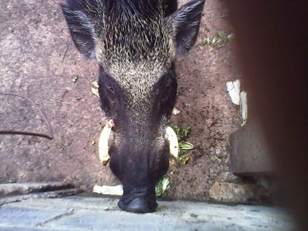 This poor old boar was bored with pain when his tusk bored into his eye.