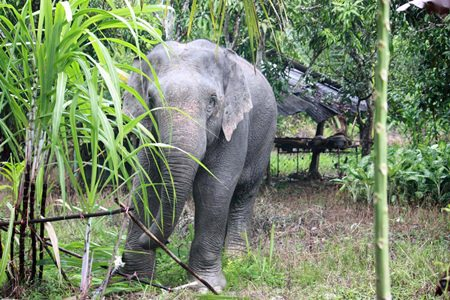 This stray elephant surprised residents of Rayong's Klaeng District when she showed up to snack on some sugarcane.