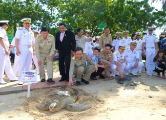 One of the bigger turtles is given an official sendoff.