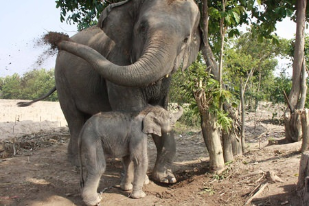 The new elephant calf is a playful male born Jan. 6.