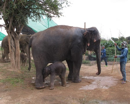 The calves were born to Boonrod, a 16-year-old show pachyderm able to play basketball and bowl; and Jing Jo, 29, which is used to transport tourists around the park.