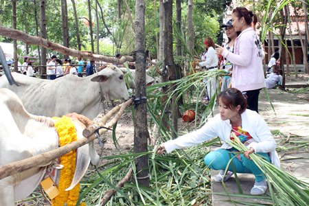 Devout Buddhists attend the redemption ceremony. To date, 780,000 baht has been collected to make merit by saving the lives of cattle.