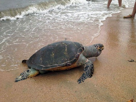 A giant sea turtle washed ashore on South Pattaya's Yim Yom Beach, the victim of an apparent run-in with a boat.