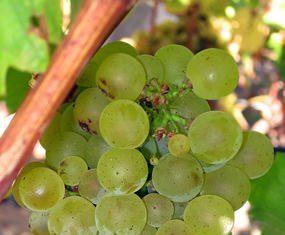 Sauvignon grapes on the vine.