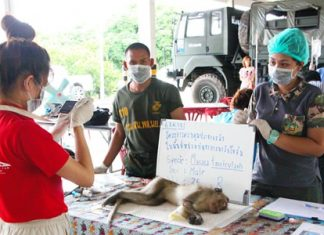 Veterinarians have begun neutering monkeys in Sattahip in hopes of resolving the area's overpopulation problem.