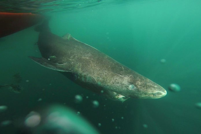 This undated photo made available by Julius Nielsen on Aug. 11, 2016 shows a Greenland shark slowly swimming away from a boat, returning to the deep and cold waters of the Uummannaq Fjord in northwestern Greenland during tag -and- release program in Norway and Greenland. In a report released Thursday, Aug. 11, 2016, scientists calculate this species of shark is Earth's oldest living animal with a backbone. They estimate that one of those they examined was born roughly 400 years ago, about the time of the Pilgrims in the U.S., and kept on swimming until it died only a couple years ago. (Julius Nielsen via AP)