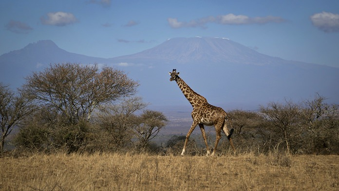In this photo taken Thursday, Aug. 18, 2016, a giraffe walks across the savannah in Amboseli national park, Kenya, as the highest mountain in Africa Mount Kilimanjaro in Tanzania is seen in the background. Statuesque giraffes, overlooked because they seem to be everywhere, are now vulnerable to disappearing off the face of the Earth according to biologists who create the world's extinction watch list, at a biodiversity meeting in Mexico Wednesday, Dec. 7, 2016. (AP Photo/Khaled Kazziha)