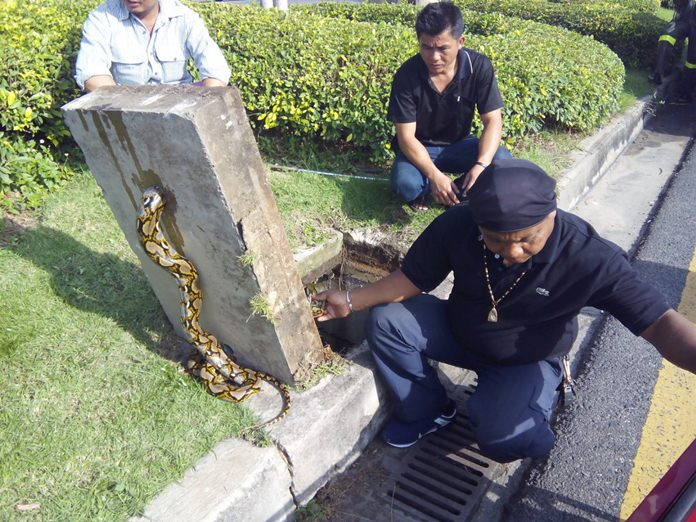 Officers were called to the traffic island in the middle of Sukhumvit Road to save a giant python that got stuck in a hole.