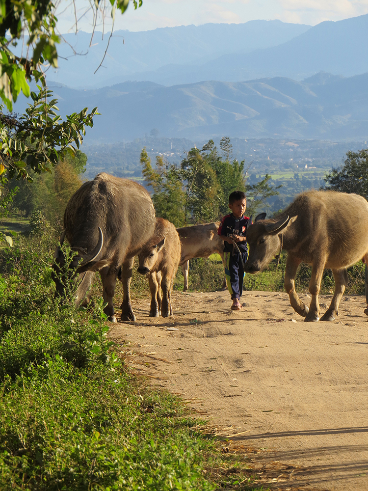 A young Akha boy brings the cows back up the hills from grazing in the valley at the end of the day.