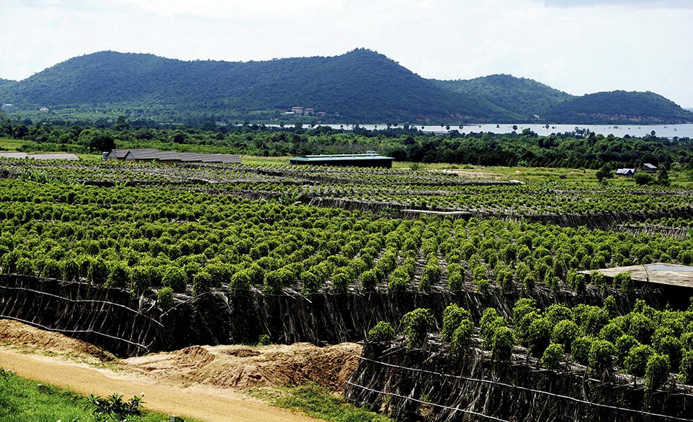 The La Plantation pepper plantation in Kampot, Cambodia. Lauded by celebrity chefs, exorbitantly priced, Cambodia's Kampot pepper is enjoying a renaissance, aided by special recognition and protection from the European Union in 2016. (AP Photo/Denis Gray)