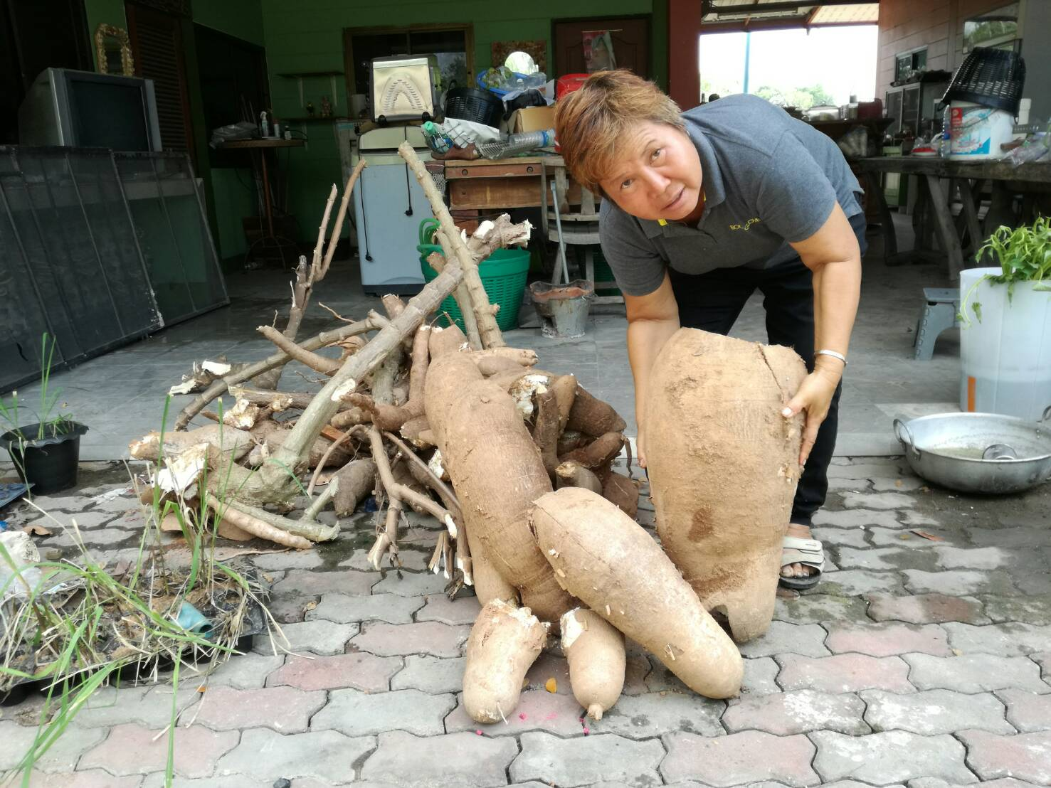 Chaweewan Bill, who grows vegetables in the backyard of her house on Soi Wat Boonkanjanaram 8, dug up a cassava tuber weighing in excess of 25 kilograms, about 150 percent larger than average for her garden. A helper also dug up two nearby tubers weighing 20 kg. and 15 kg.