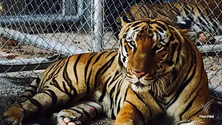 Thailand News 03-03-17 1 PBS World Animal Protection- No license for tiger farm please 1JPG