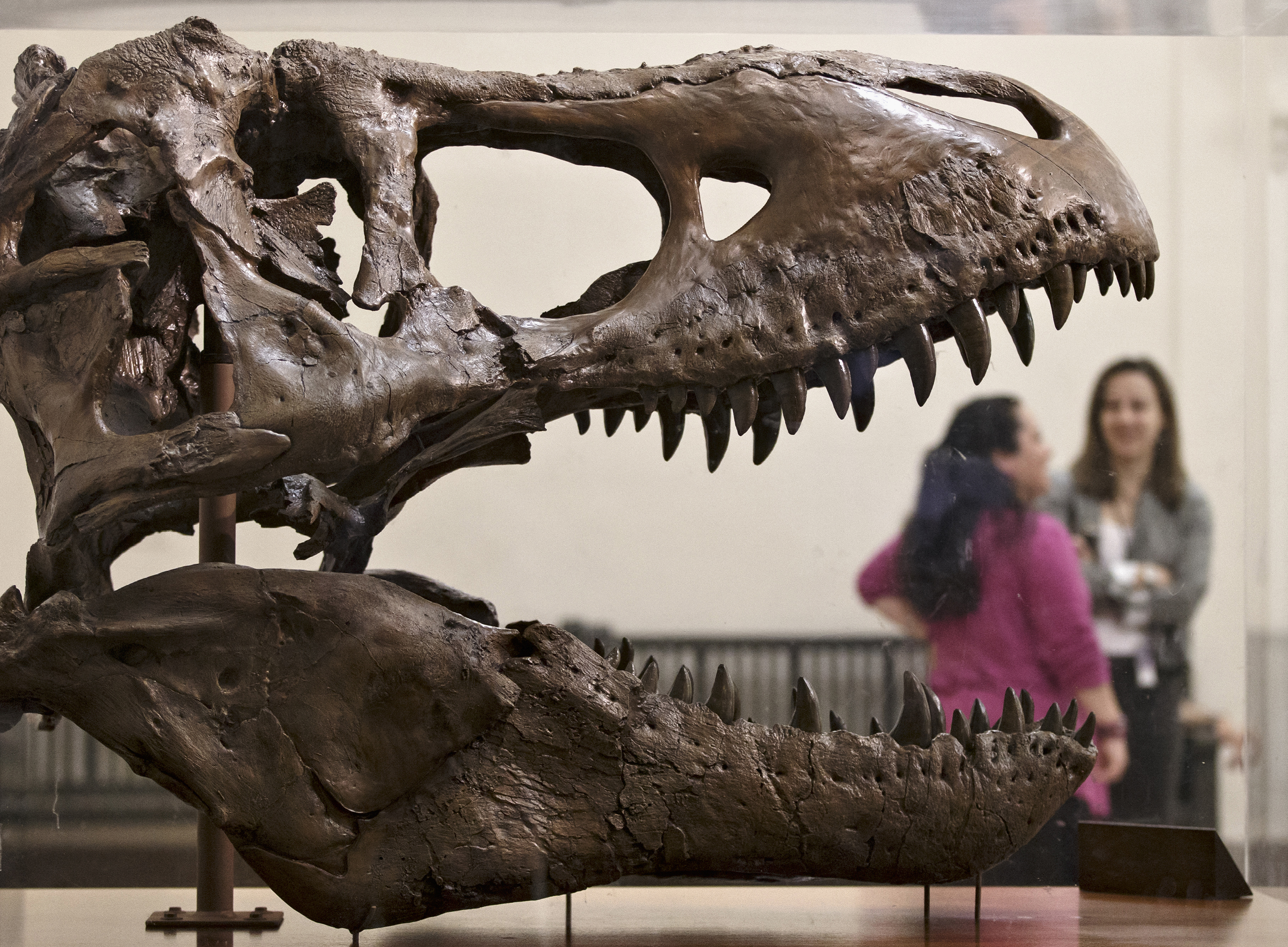 In this April 15, 2014 file photo, a cast of a Tyrannosaurus rex discovered in Montana greets visitors as they enter the Smithsonian Museum of Natural History in Washington. (AP Photo/J. Scott Applewhite, File)