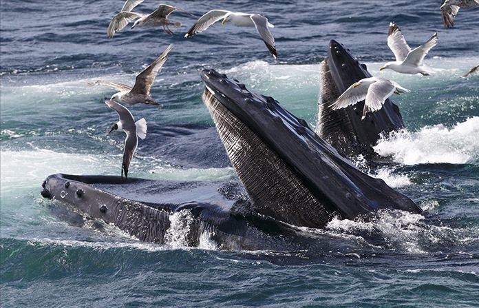 Humpback whales feed at the Stellwagen Bank National Marine Sanctuary off Cape Cod near Provincetown, Mass. A new study explains how the baleen whale family, which includes humpback whales, grew seemingly suddenly only a few million years ago from smaller creatures to the ocean giants they are now. (AP Photo/J. Scott Applewhite)