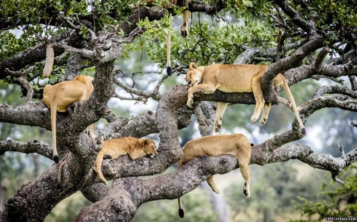 A sleepy pride of lions take a snooze up in a tree.
