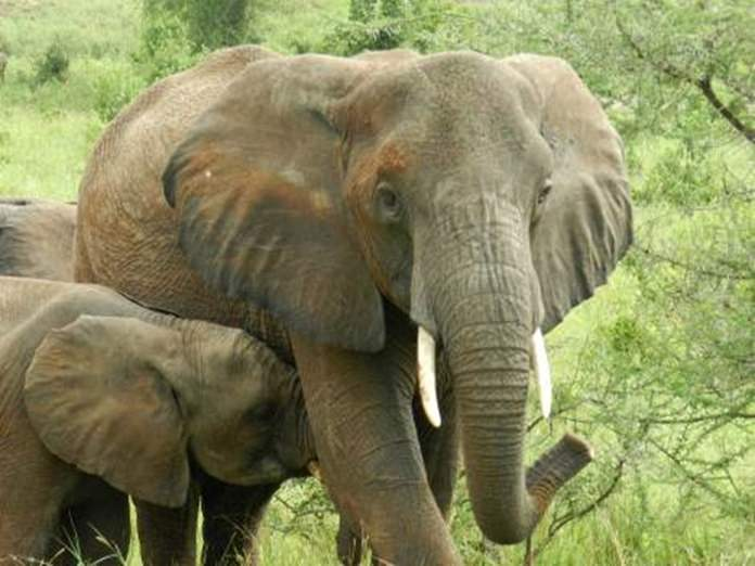 A mother elephant and her adorable attention seeking calf.