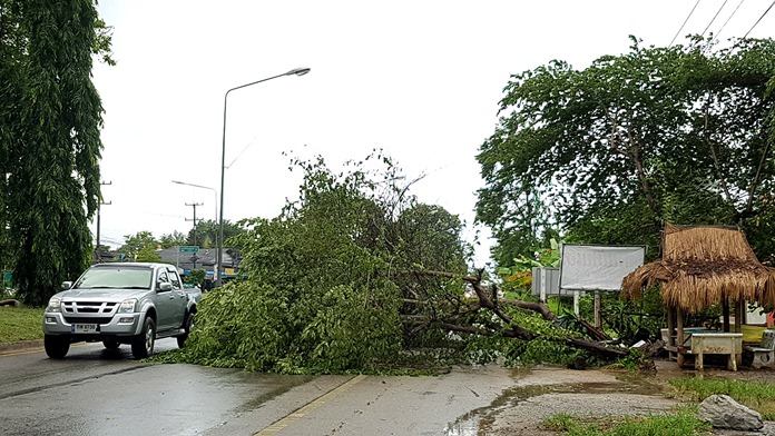 A large calabur tree downed in a violent thunderstorm blocked traffic in Sattahip for an hour.