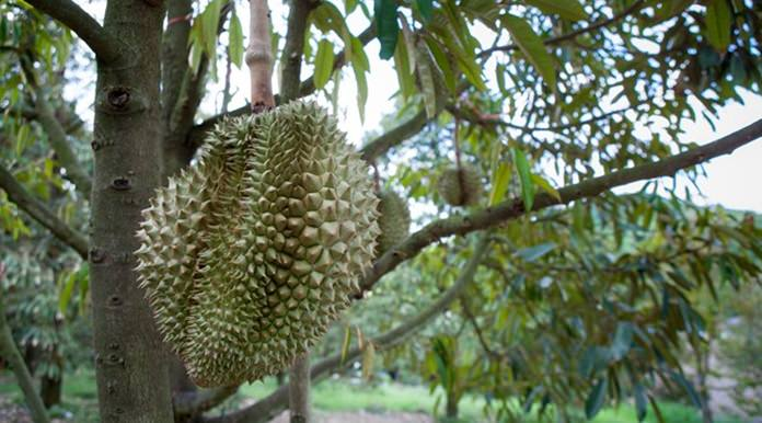 Durian at a fruit orchard in Rayong.