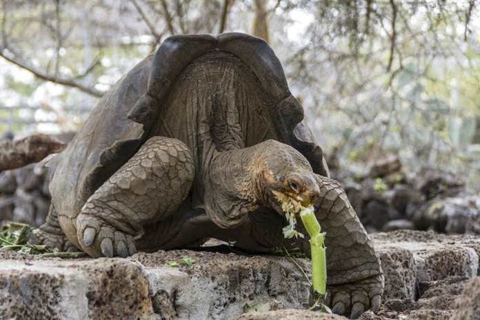 This photo released by Galapagos National Park on Wednesday, Sept. 12, 2017 shows a turtle with genes from an extinct species of turtles that disappeared about 167 years ago, in Santa Cruz, Galapagos Islands, Ecuador. (Galapagos National Park via AP)