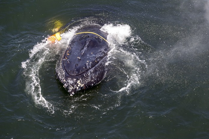 This undated file photo provided by NOAA shows a humpback whale entangled in fishing line, ropes, buoys and anchors in the Pacific Ocean off Crescent City, Calif. (Bryant Anderson/NOAA Fisheries MMHSRP Permit# 18786-01 via AP, File)