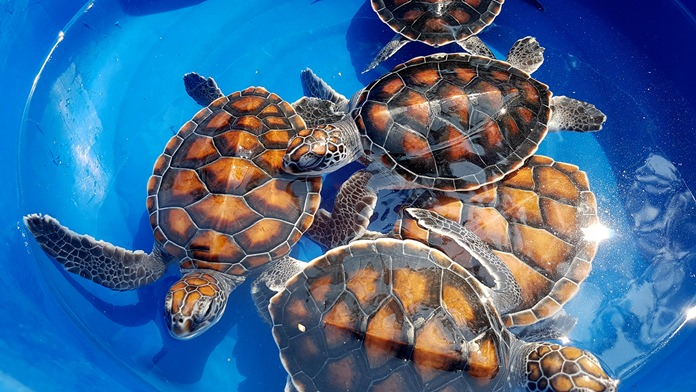 The Royal Thai Navy released 33 sea turtles as part of a coral reef and marine-conservation project initiated by HRH Princess Sirivannavari Nariratana.