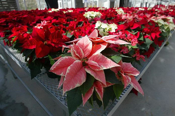 This Wednesday, Nov. 3, 2003 file photo shows hundreds of experimental poinsettias in colors of pink, red, white and even polka dot patterns, fill the University of Maryland Research Greenhouse Complex in College Park, Md. Poinsettias are not nearly as poisonous as a persistent myth says. Mild rashes from touching the plants or nausea from chewing or eating the leaves may occur but they aren't deadly, for humans or their pets. (AP Photo/Matt Houston)