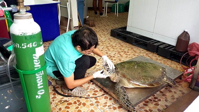 Sattahip's Sea Turtle Conservation Center came to the rescue of an endangered green turtle injured by a boat propeller. . Kirin Sorapipat said the turtle was in good condition, although the recovery will be slow.