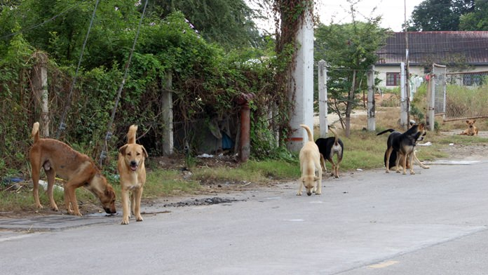 Stray dogs have taken over a lot behind Banglamung Hospital, raising fears of attacks and rabies infections among neighbors.