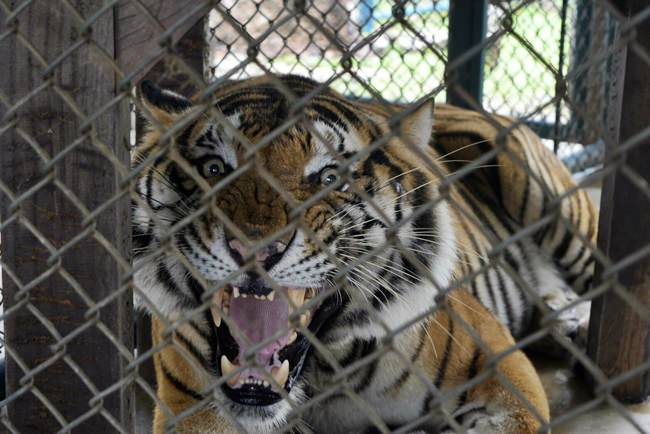 The head of Tiger Park Pattaya says she was shocked to hear accusations that a Thai construction magnate poached a black panther.