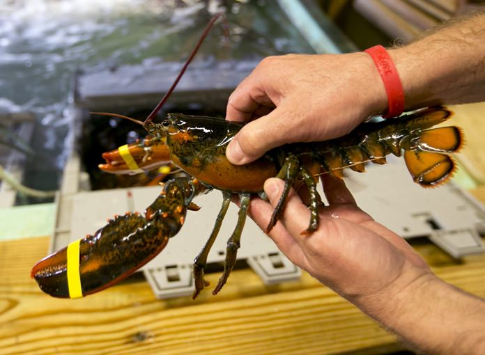 Federal stats say China imported a record of more than 17.8 million pounds of lobster from America in 2017, eclipsing the previous record of about 14 million pounds in 2016. Thailand imported its largest total in history last year at more than 675,000 pounds. (AP Photo/Robert F. Bukaty, files)