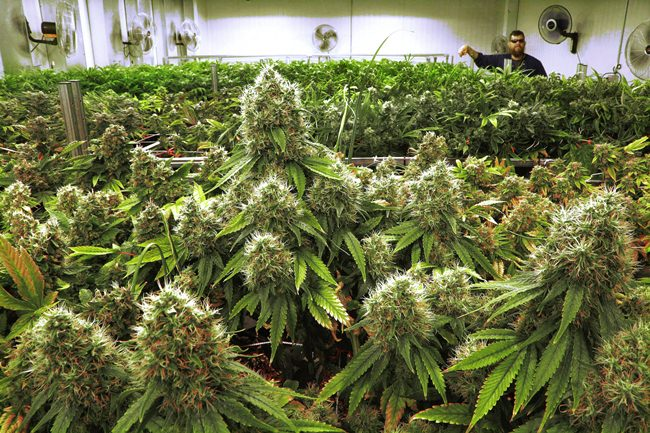 This Sept. 15, 2015 file photo shows marijuana plants in a medical marijuana cultivation center in Albion, Illinois. (AP Photo/Seth Perlman)