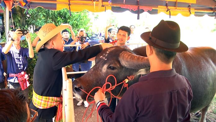 Countrywide blessing ceremonies are organised to show reverence to the beasts of burden on Thai Buffalo Conservation Day.
