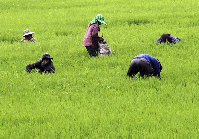 Farmers cut grass at a rice field in Ayutthaya province, central Thailand. (AP PhotoApichart Weerawong, File)