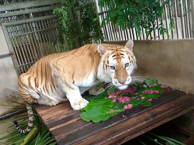 Goldie the golden tiger.
